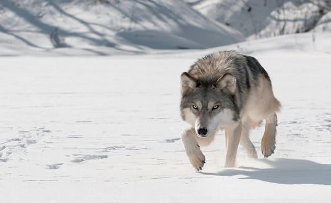 Demand Justice for Endangered Wolf Slain in Oregon
