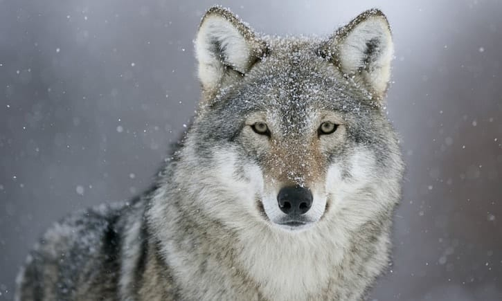 POLL: Should wolf hunting in Norway be banned?