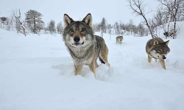 Denmark gets its first wild wolf pack in 200 years