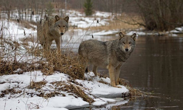On the trail of wolves in Belarus