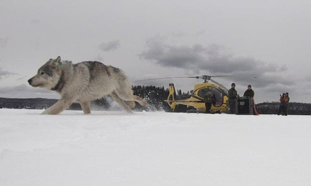 'We want to live with them': wolves airdropped into US to tackle moose problem