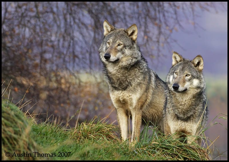 Video: Wild wolf shot and killed in Denmark