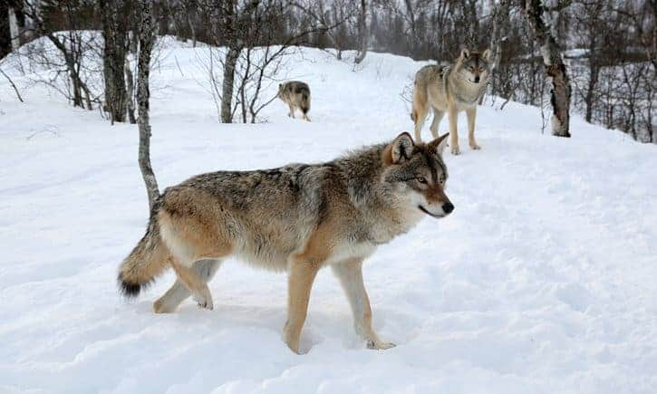 POLL: Should Norway's plan to cull its wolves be abandoned?