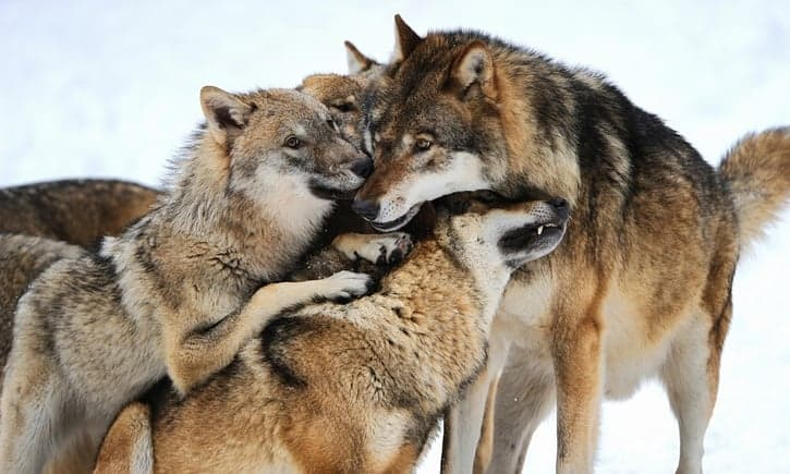 POLL: Should wolves be rewilded in other countries?