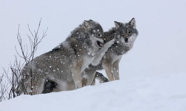 POLL: Should Europe's Wolves be Rewilded?