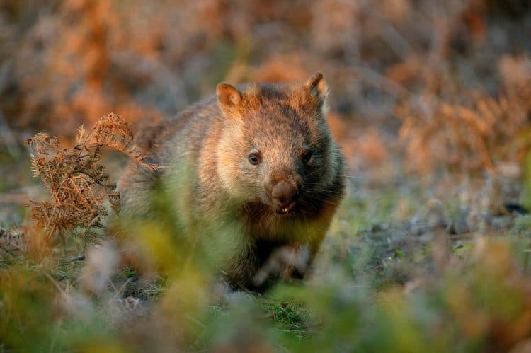 'Significant suffering': experts call for national plan to save wombats from mange
