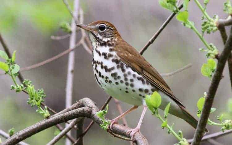 Wood Thrush - Photo by Mike Parr