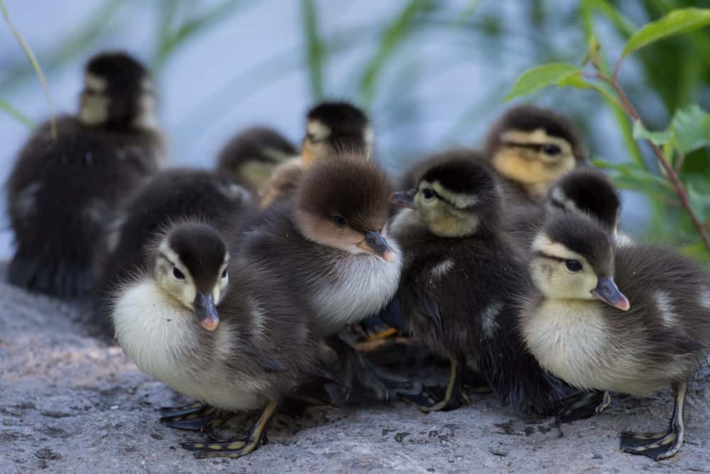 Wood Duck and Hooded Merganser Babies