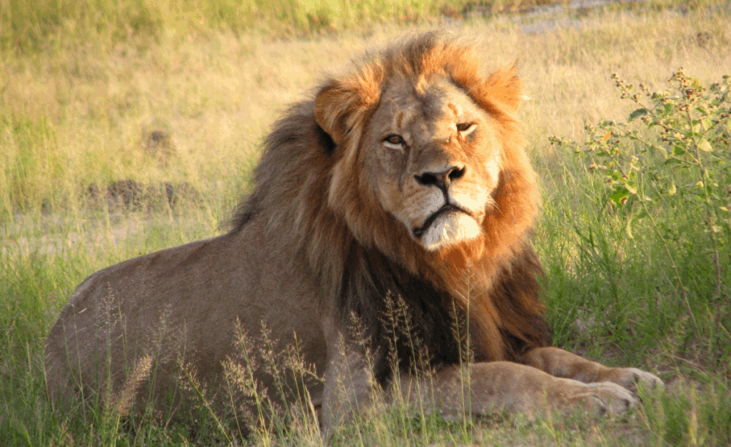 POLL: Should the trophy hunting of lions be banned?